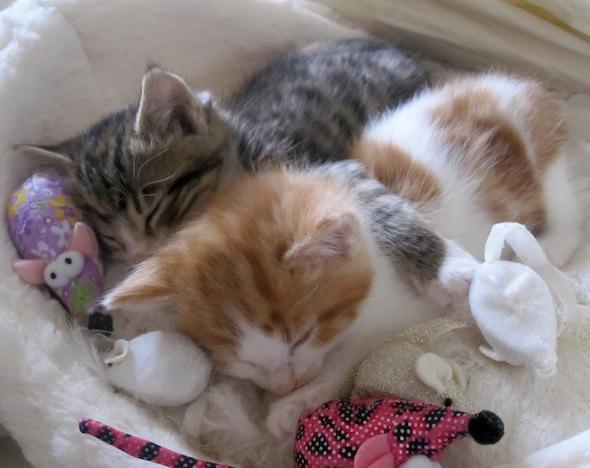 Figaro and Ripley [4] kitten