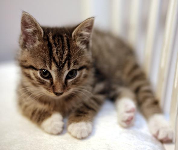 Tiffie  kitten