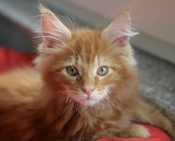 Samson  kitten