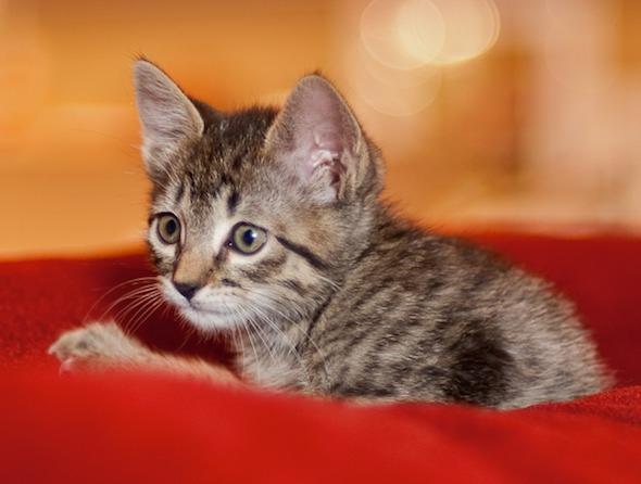 Tigra  kitten