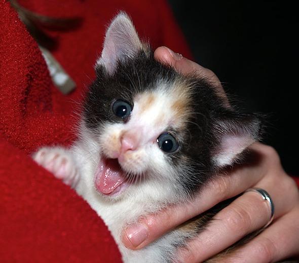 Pebbel [5] kitten