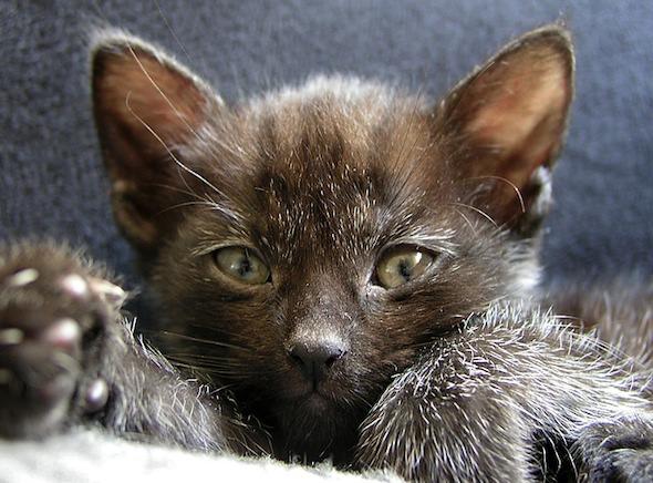 Pip [5] kitten