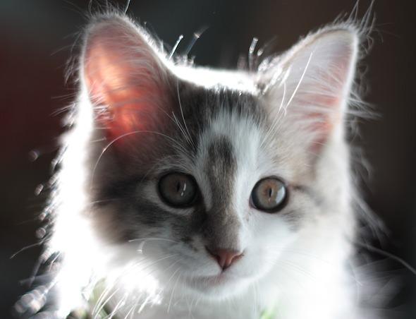 Eddie  kitten