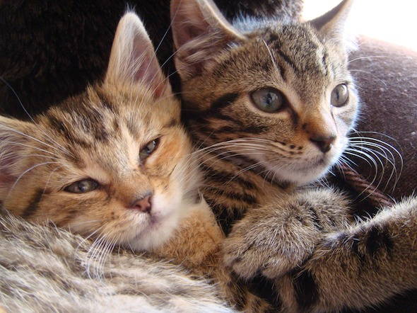 Smoggy's Friends: Victor and Cleopatra  kitten
