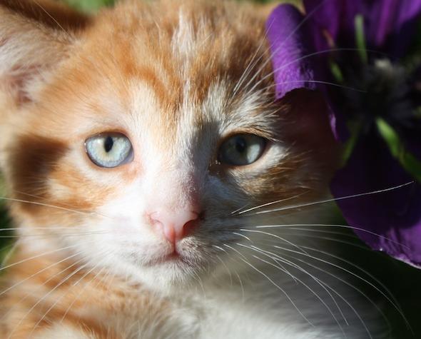 Sassy [4]  kitten