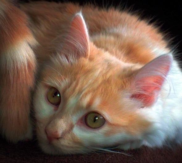Mia (and Morris) [4] kitten