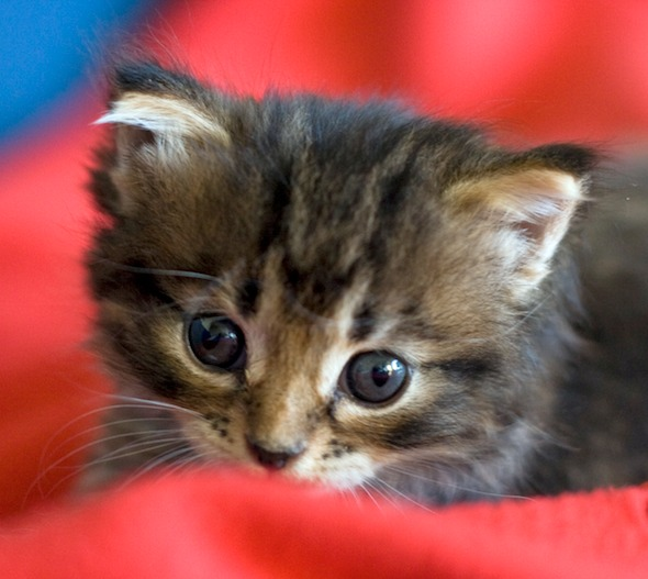 Wizzy [4]  kitten
