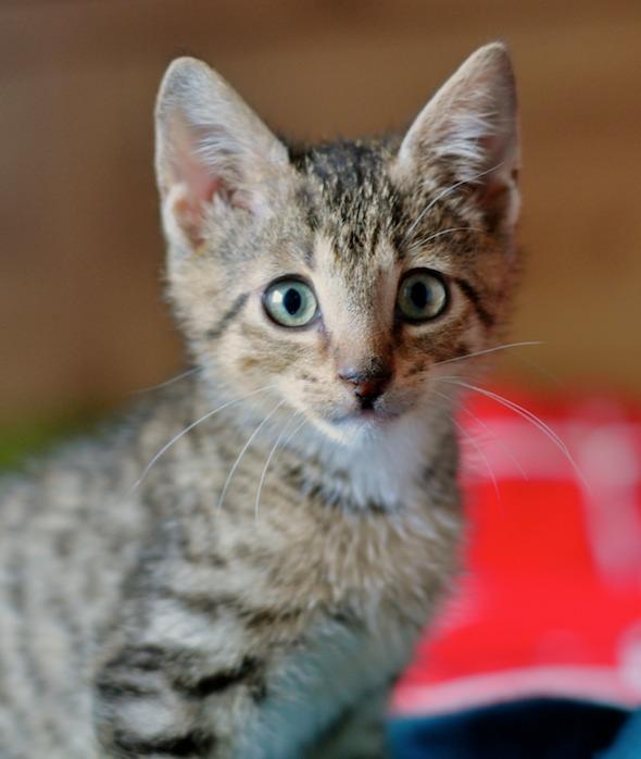 Carlos [4] kitten
