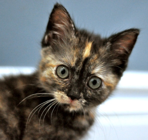 Twiggy [4] kitten