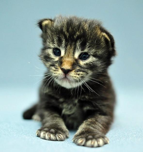 India's Kittens: Odin [3] kitten