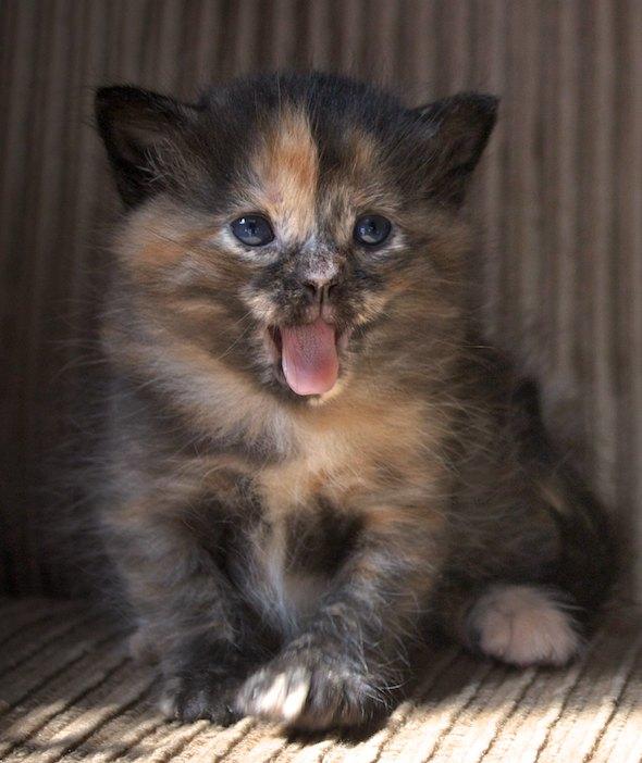 Kaylee [4] kitten