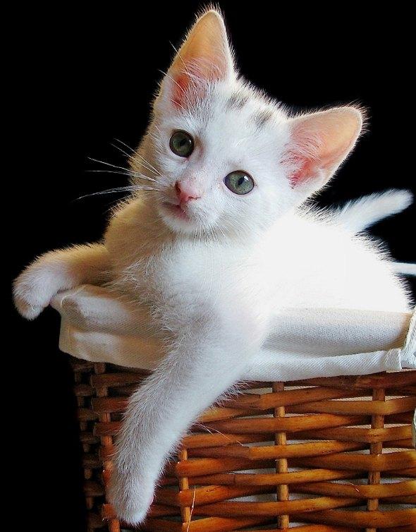 Mogwai [4] kitten