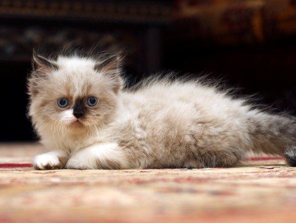 Tom [4] kitten