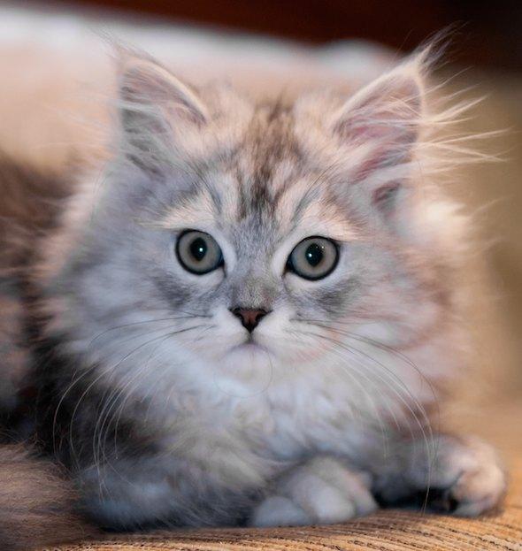 Patron [5] kitten