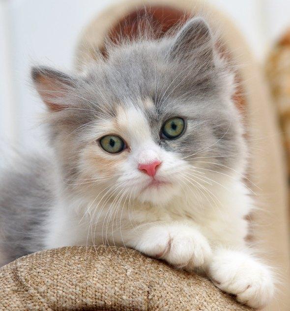 Sugar [4] kitten