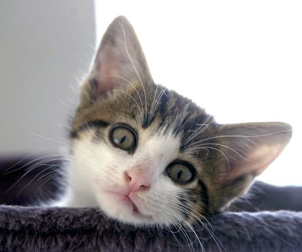 Encore: Clovis [5]  kitten