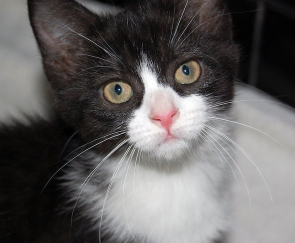 Voltron [5] kitten