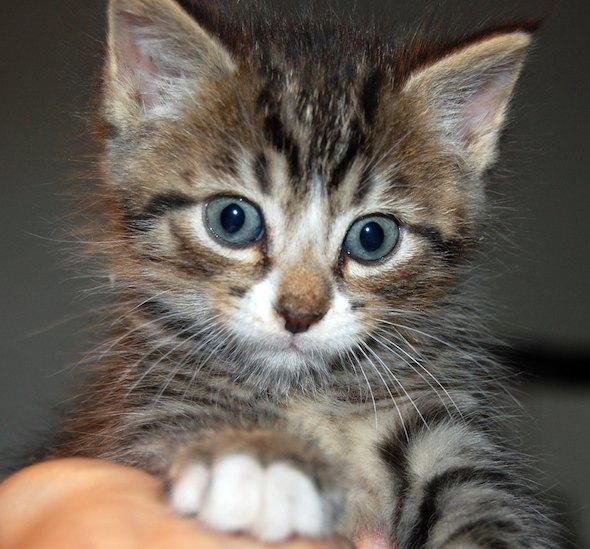 Cobra [5] kitten