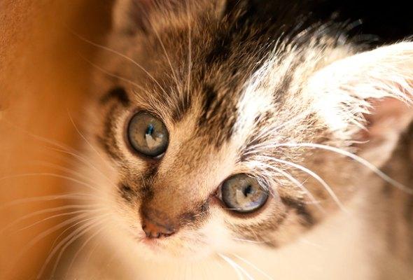 Trixie [4]  kitten