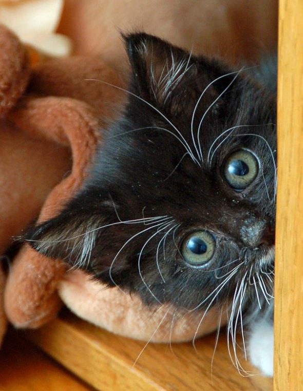 Sosie [4] kitten