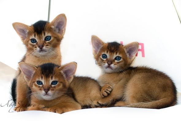 Encore: Bjork's Beautiful Boys  Abyssinian kitten