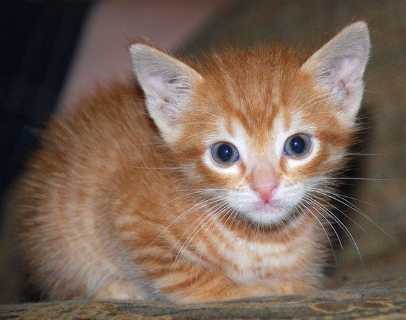 Trooper [4] kitten