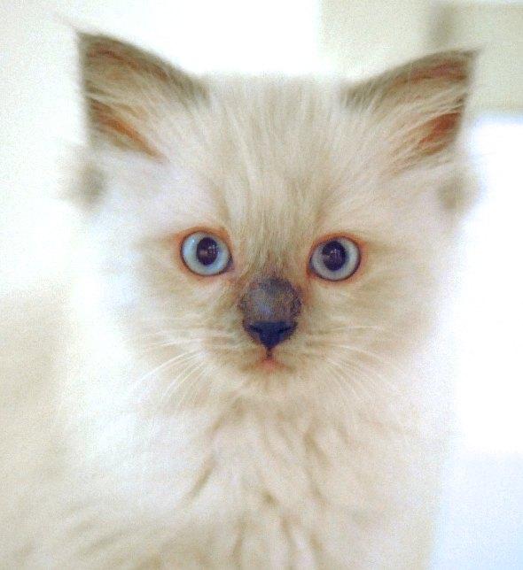 Nana's Girl Alice [4] kitten