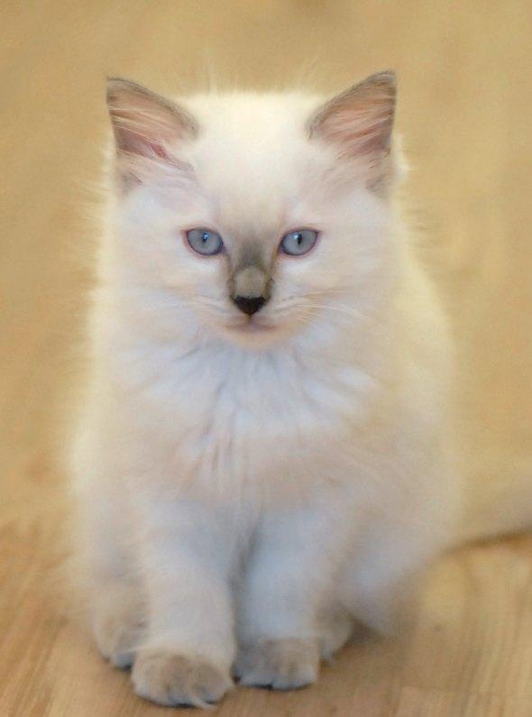 Nana's Girl Ariel [4] kitten