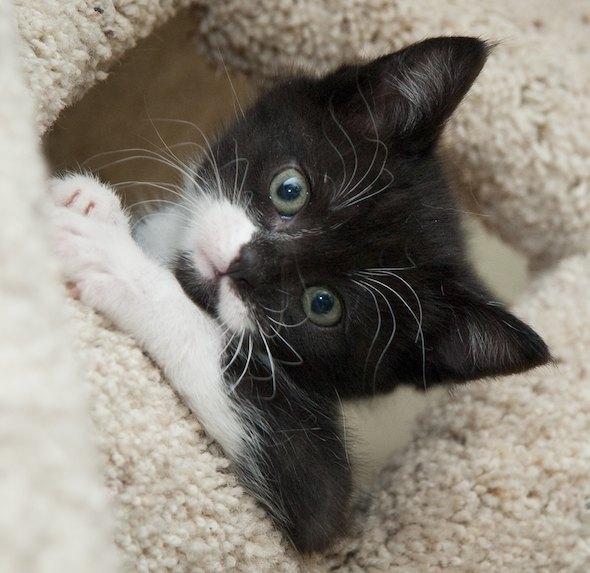 Sylvester [3]  kitten