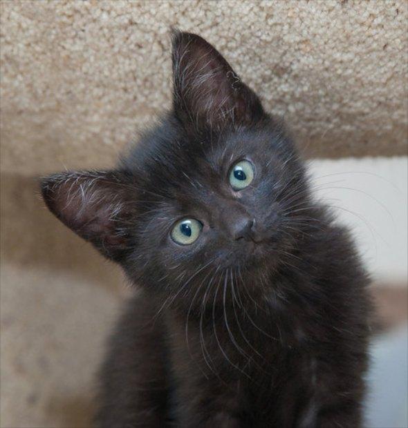 Debbie [4]  kitten