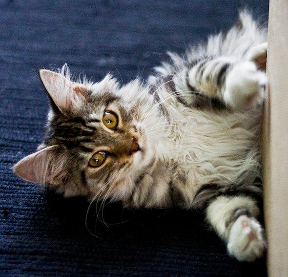 Blessa [4]  kitten