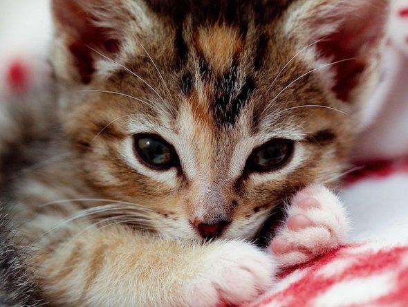 Annie [4]  kitten