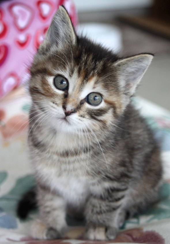 Tigre [5] kitten