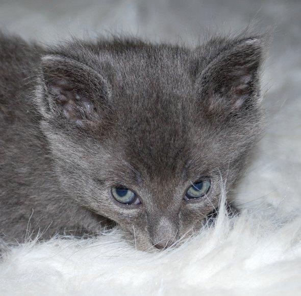 Mika [5] kitten