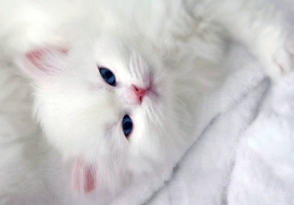 Snow White [4] kitten