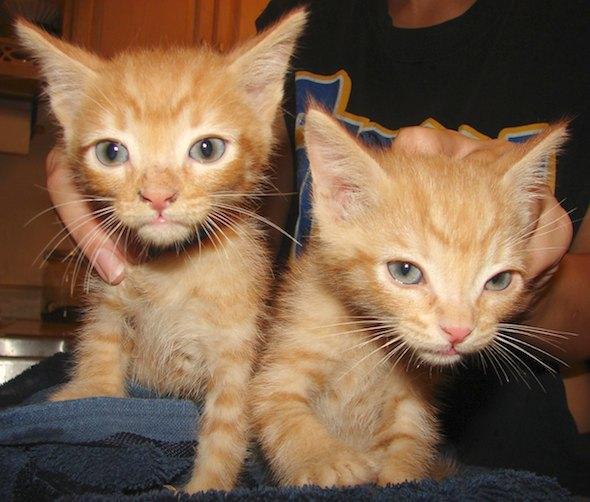 Hinky and Shabu [3] kitten
