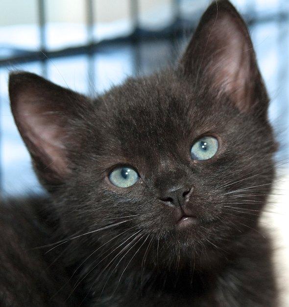 Oreo [4]  kitten