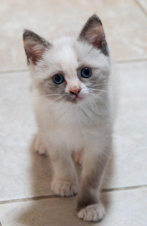 Cookie Dough [4] kitten