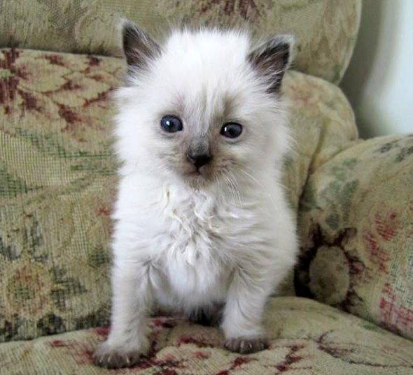 Sophie Ann [4] kitten