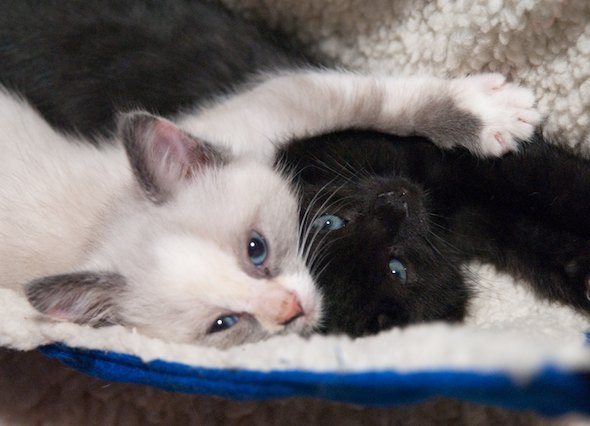 Oreo AND Cookie Dough [5] kitten