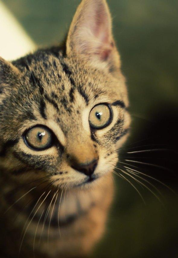 Casey [4] kitten