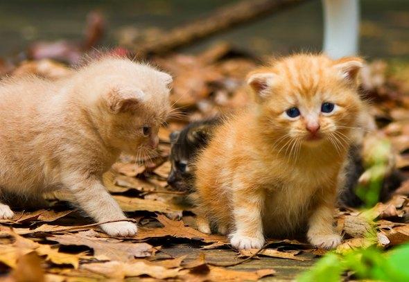 Farm Kittens in Arkansas [4] kitten