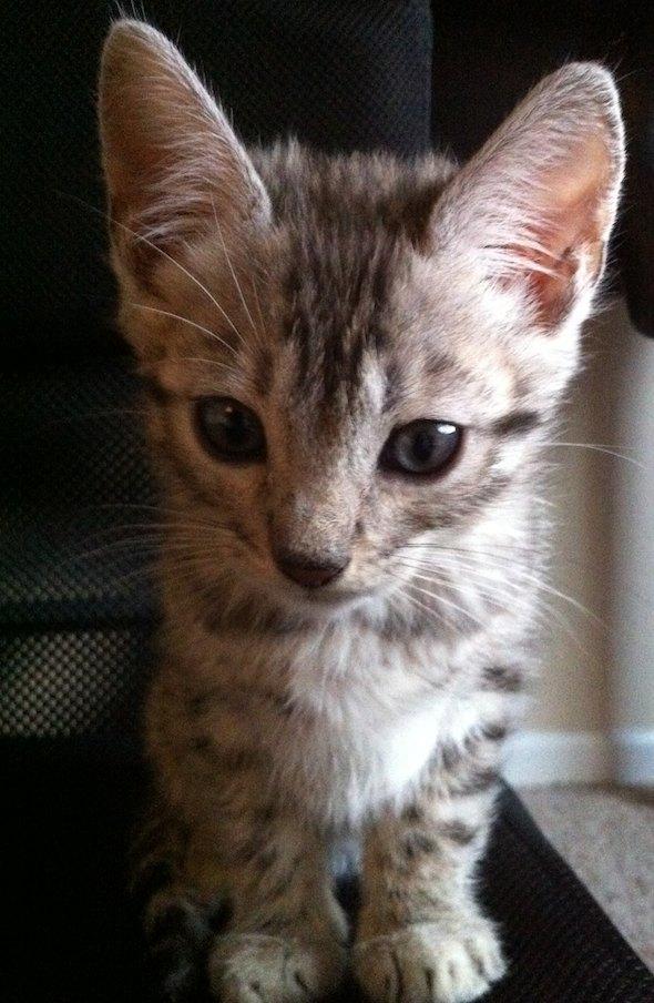 Hugo [4] kitten
