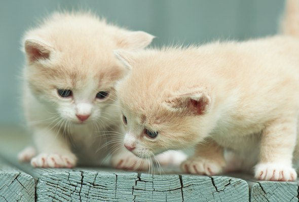 Neighbor's Kittens: The Twins  kitten