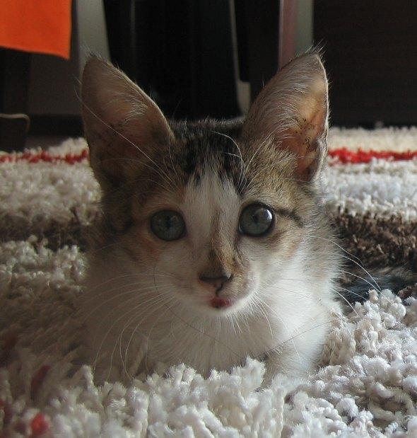Imeowda Meowcos [4] kitten