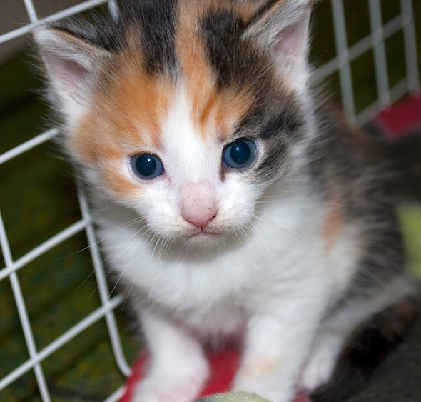 Pissen's Calico Girl  kitten