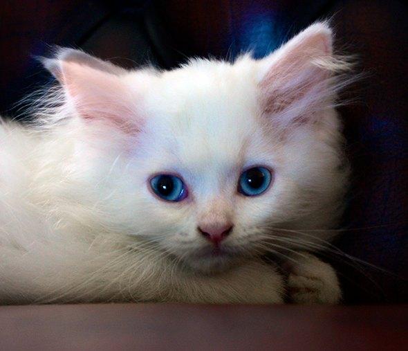 Kimmy [4] kitten