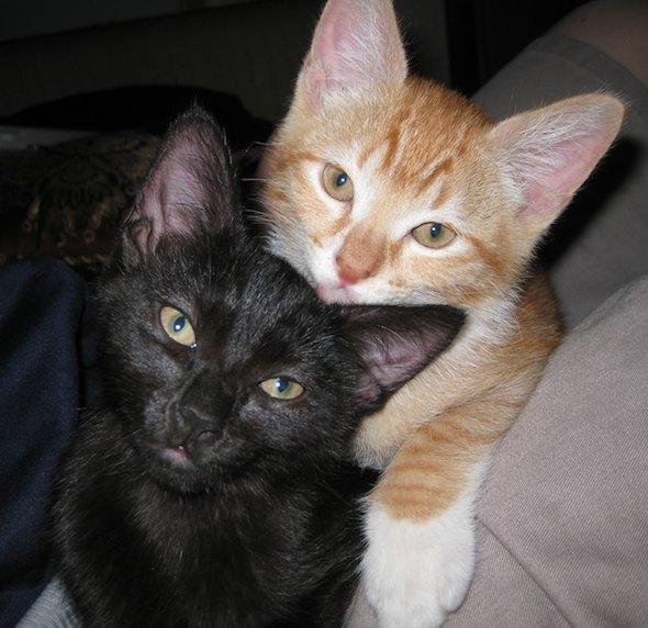 Goblin and Sister [5]  kitten