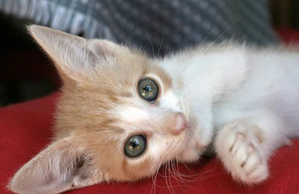 Franklin Joon [5]  kitten