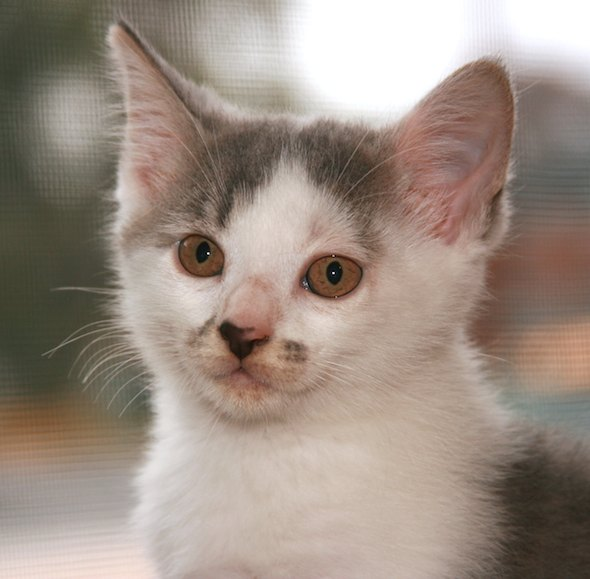 Mandy [4] kitten
